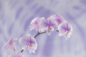 Orchids Original